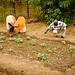 Growing vegetables near the desert - Mali