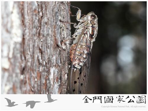 大姬蟬-03(吸食樹液的大姬蟬雄蟲).jpg