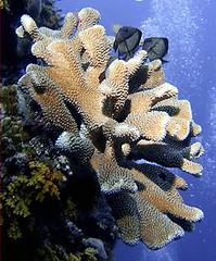 澳洲大堡礁上健康的鹿角珊瑚 (Photo © Pete Faulkner / Marine Photobank)
