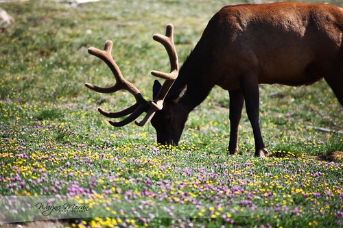 Elk - Rocky Mountain National Park by !!WaynePhotoGuy