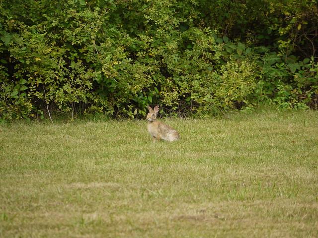 wild rabbit 5