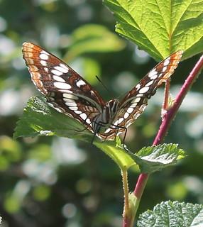 Lorquins Admiral (Limenitis lorquini)