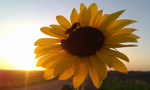Sunrise meeting on a sunflower.