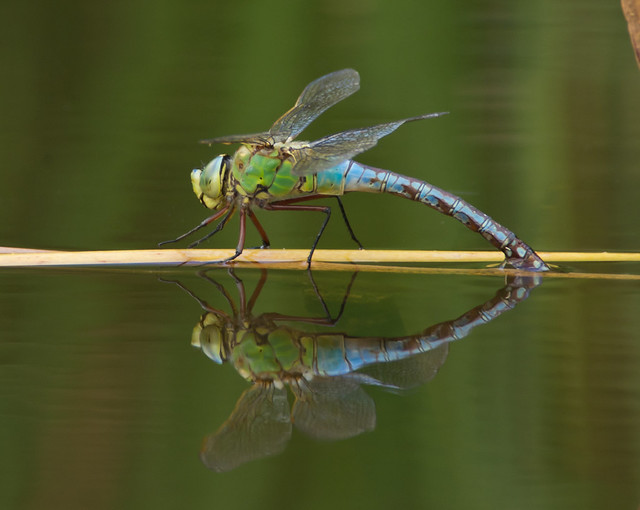 Emperor dragonfly egg laying 3