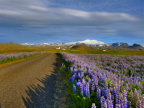 Lupine fields & Blue Sky
