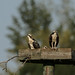 Osprey Mom and the Kids_2424.jpg