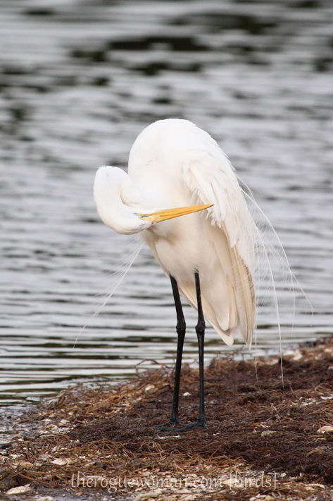 072312_03_bird_greatWhiteEgret