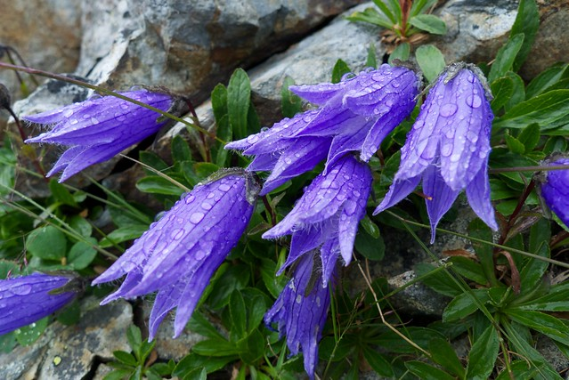 alpine blue bell flowers