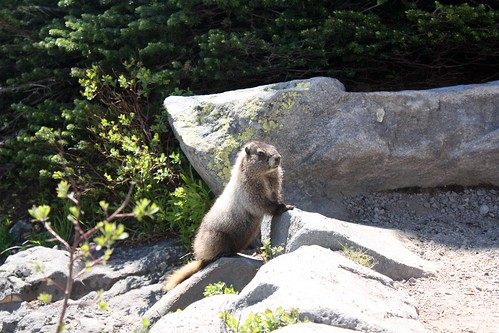 MARMOT at Mt Rainier