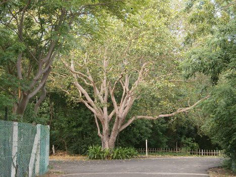 Nizhal-Tree-Walk-Kalakshetra-Big-Tree