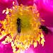 Chrysogaster solstitialis og Brachycera - fluer
