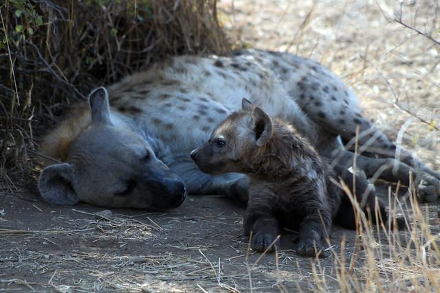 Hiena con su cachorro - Parque Nacional Kruger - Sudáfrica