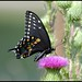 Black Swallowtail Monday again...