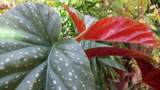 begonia in my garden