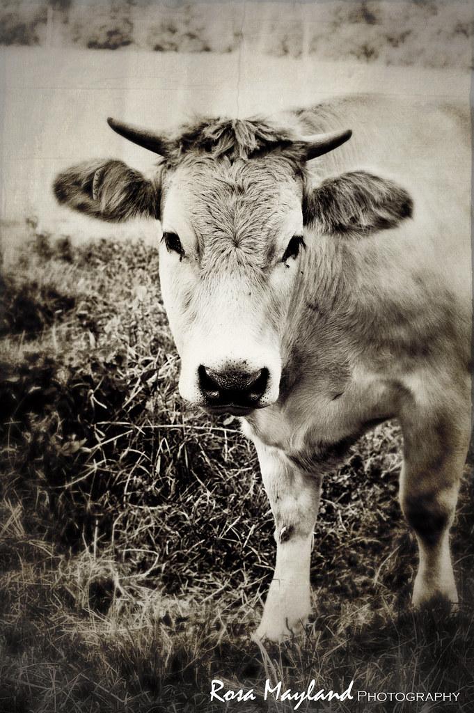 Cow Portrait 2 6 bis