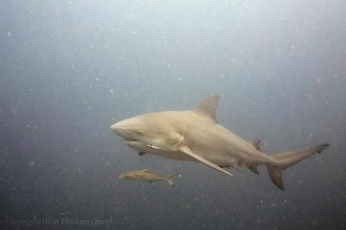 sail-rock-bull-shark-2