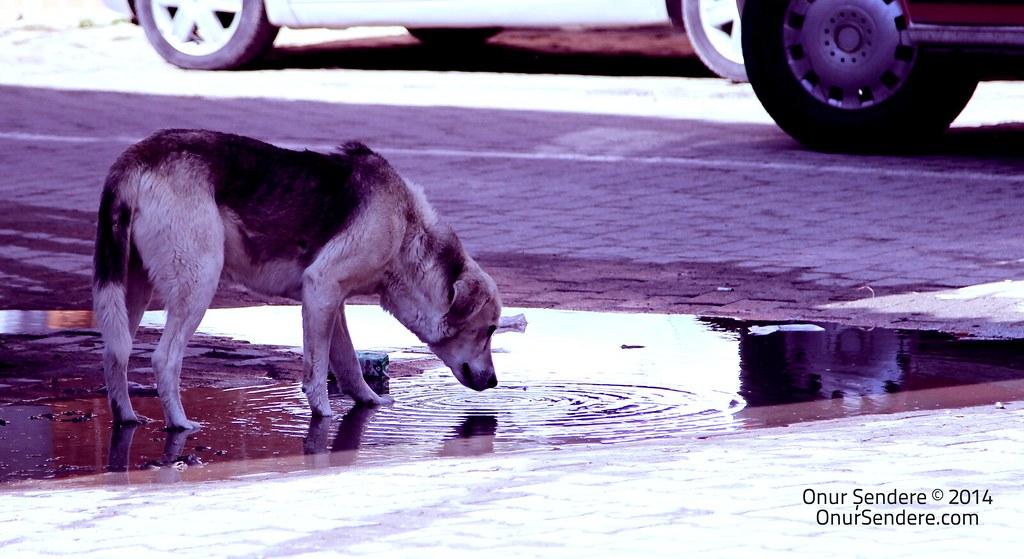 Su İçen Köpek