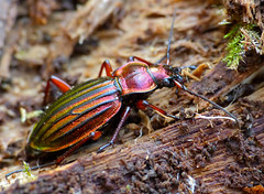 Golden Ground Beetle (Carabus auronitens auronitens) hibernating in dead wood