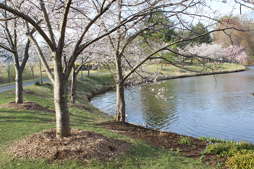 Meadowlark Botanic Gardens - Cherry Blossoms From Shoreline