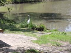 Great Egrett Milpitas CA (9)