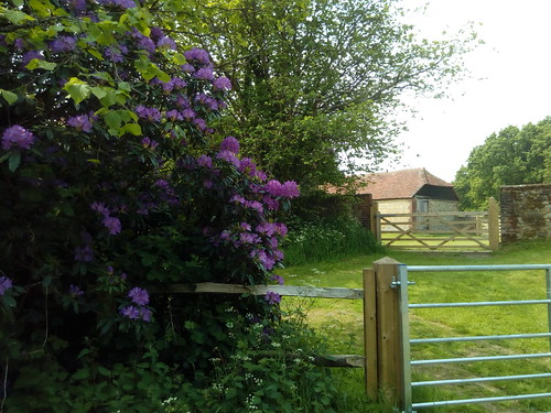 Rhododendron and barn