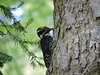Picoides tridactylus - Three-toed Woodpecker