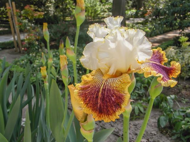 Iris 'French Cancan'