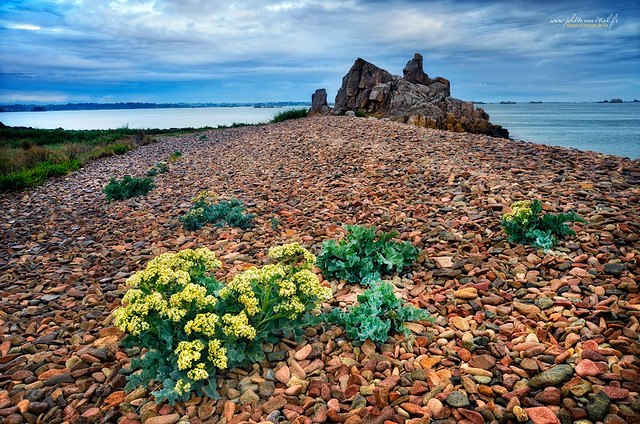 Fleurs de chou dans les galets sur les plages de l'Arcouest