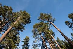 Love dem BIG TREES in Tahoe!