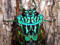 Cicada of Ecuador