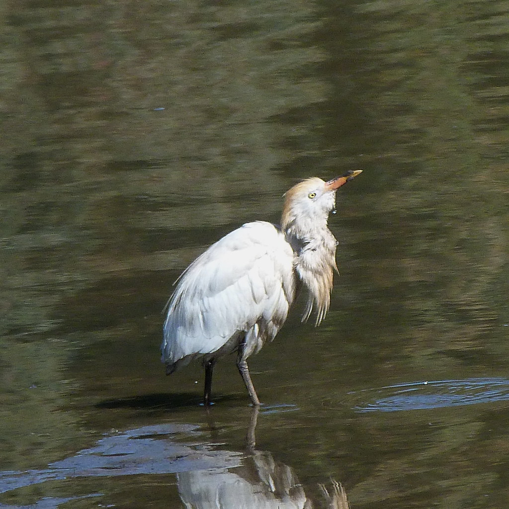 13-04-2012-baby-heron