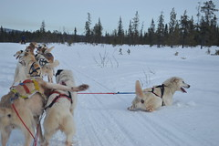vehicle(0.0), dog(1.0), winter(1.0), snow(1.0), pet(1.0), mammal(1.0), mushing(1.0), greenland dog(1.0), sled dog racing(1.0), sled dog(1.0),