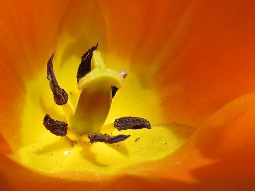 Just ..... the obligatory springtime tulip shot.