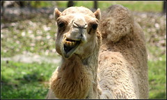 CAMEL SMILE