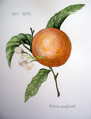 Sweet orange.(SOLD)