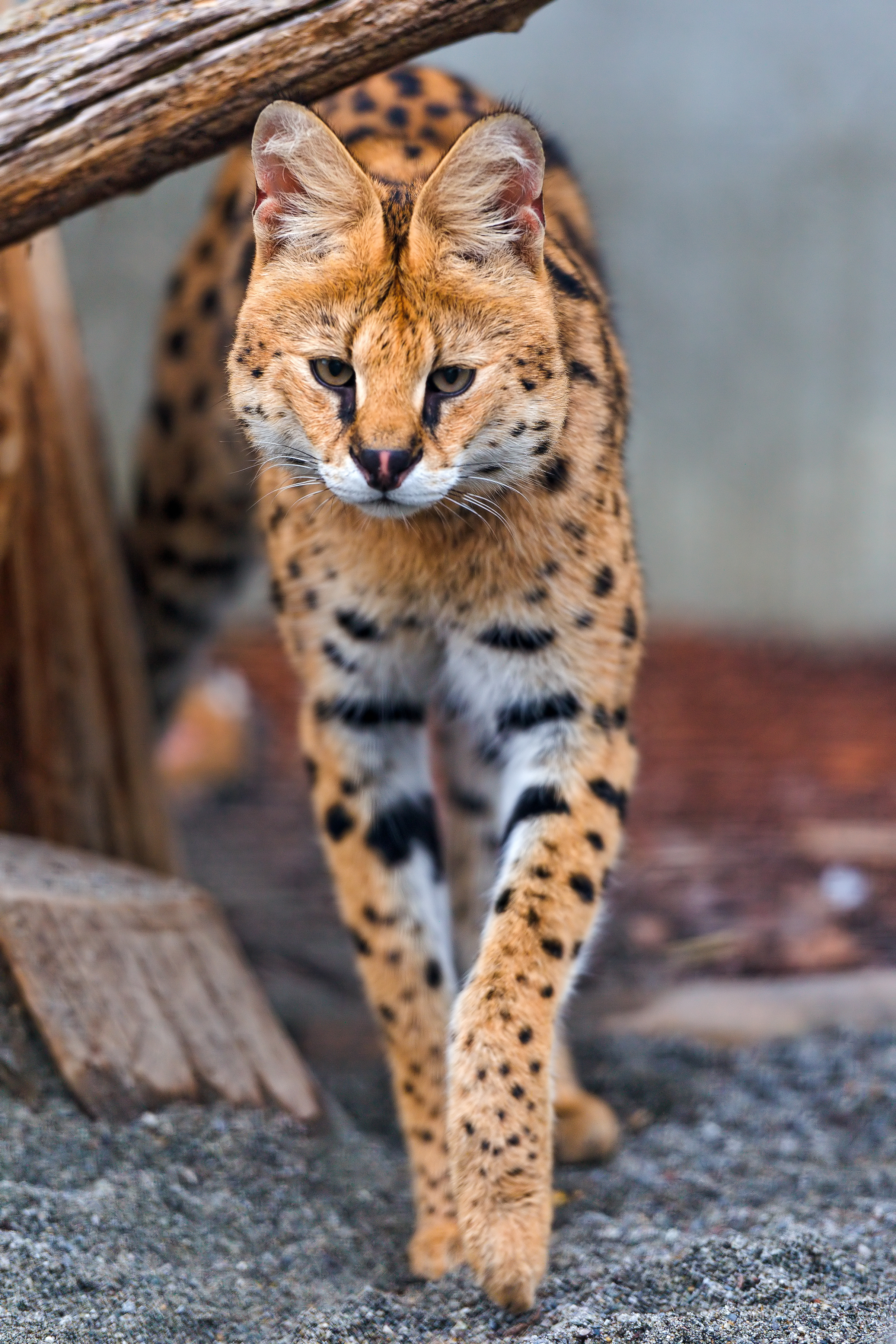 Dominik the serval walking