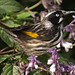 New Holland Honeyeater on Flowers