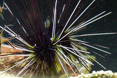 sea urchin, echinoderm, invertebrate, macro photography, close-up,