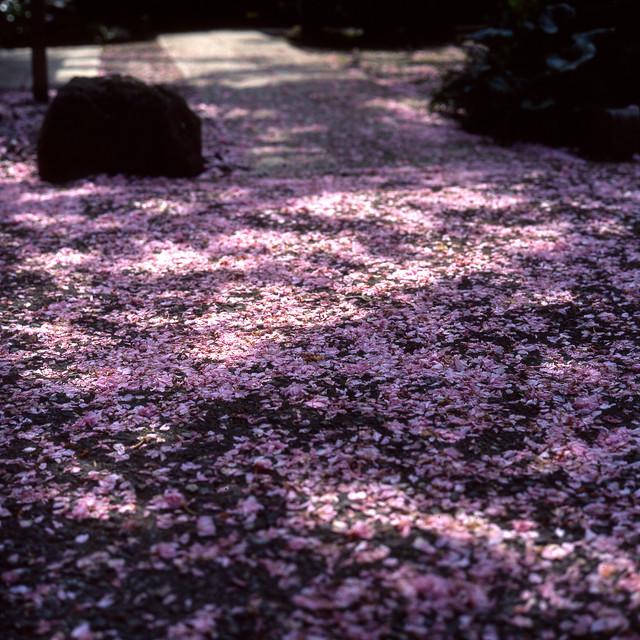 遅咲き桜の散り際