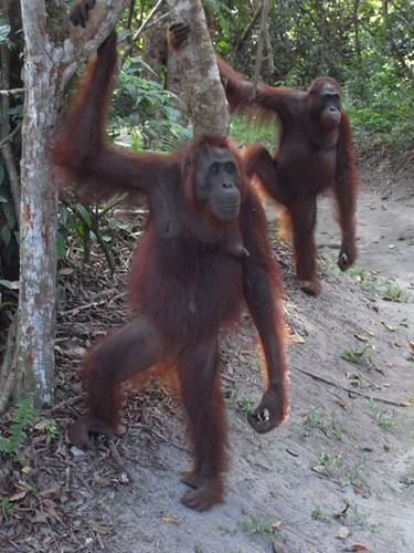 Two orangutans watch the show