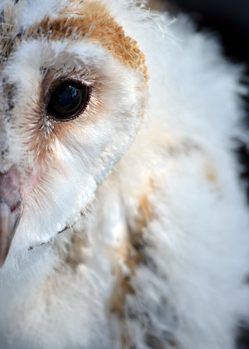Baby Barn Owls | Flickr - Photo Sharing!