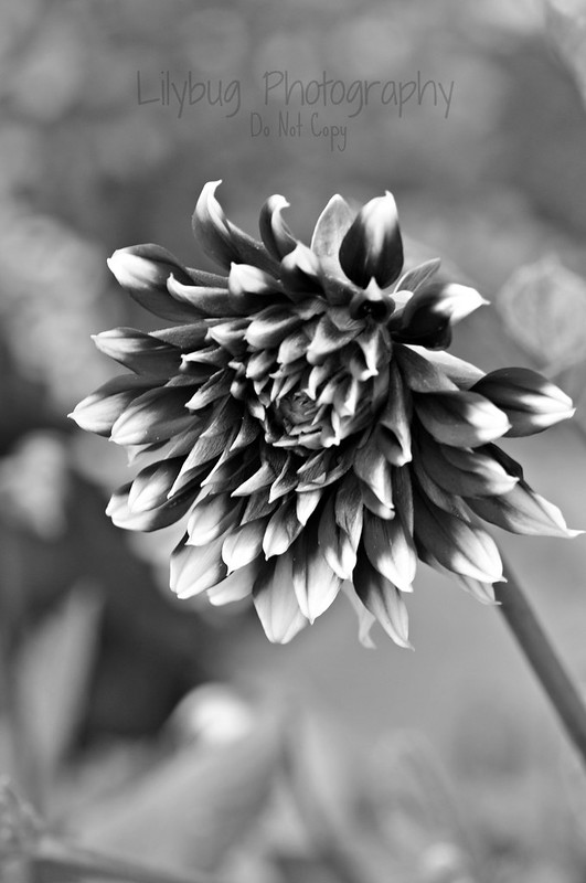 Purple Flower (B&W)