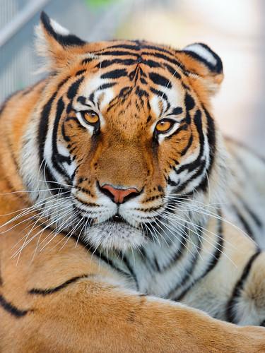 [フリー画像素材] 動物 1, 虎・トラ ID:201207111000