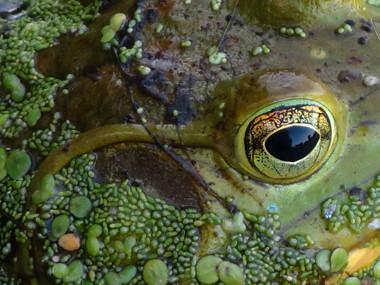 Frog Eye 380