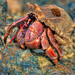 Hermit Crab Crawling on Rock at Coconut Island Phuket Thailand