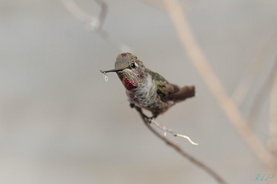 immature mele Anna's Hummingbird 070812