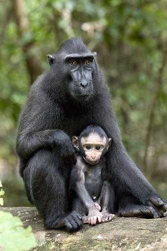 the annotated budak big black ape