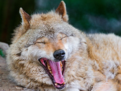 [Free Images] Animals 1, Wolves, Yawn, Animals - Open One's Mouth ID:201207141000