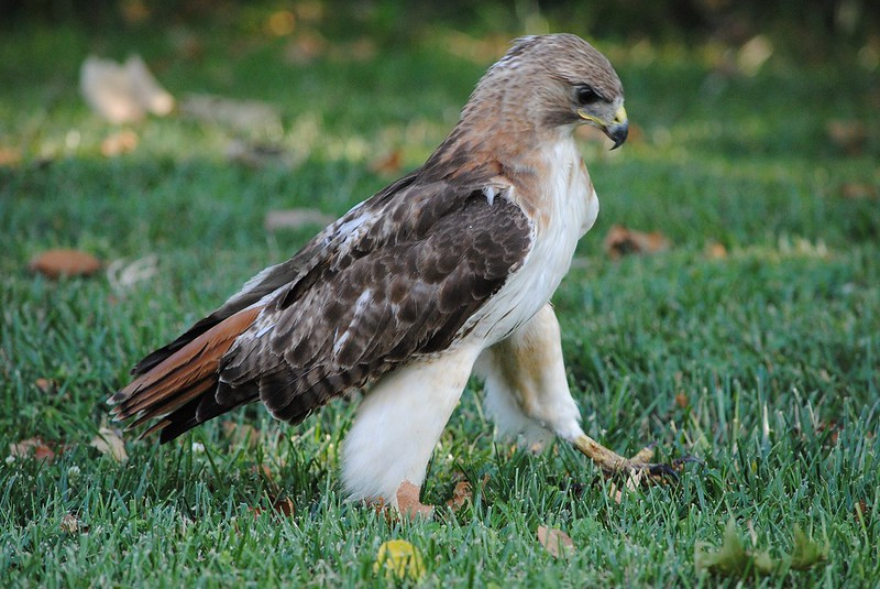Red-tailed Hawk (краснохвостый канюк)
