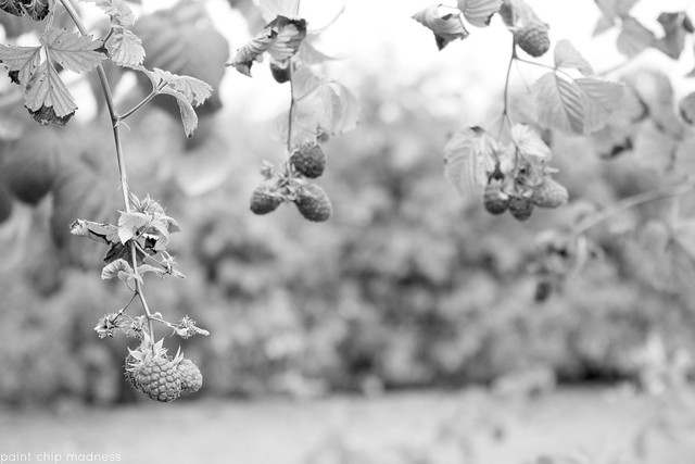 b&w hanging berries